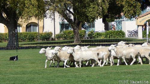 Sheep-herding.