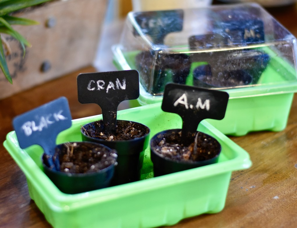 Bean seeds planted in small pots.