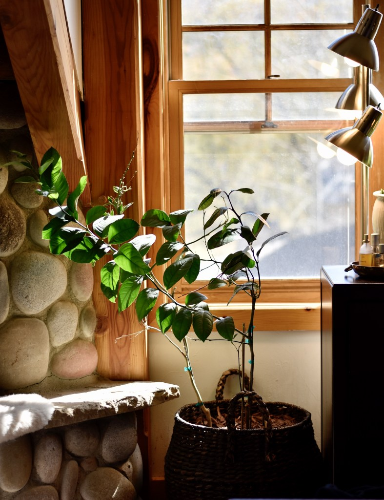 A little lemon tree in an indoor setting with lights shining on from the right