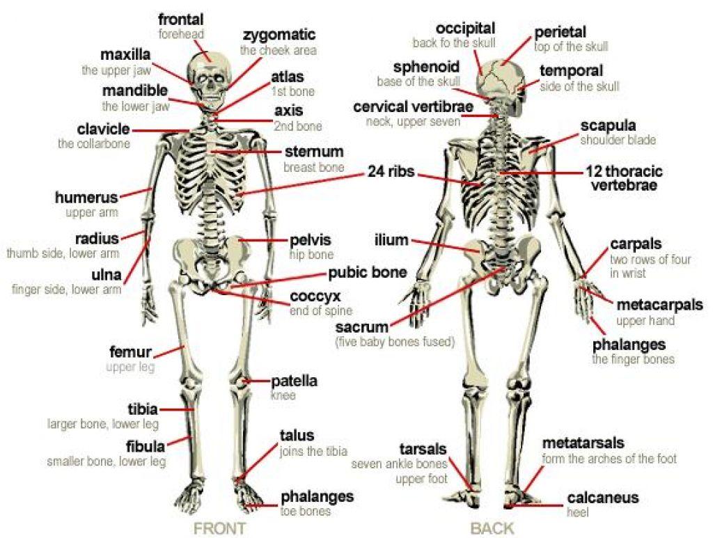 Major Bones Of Body