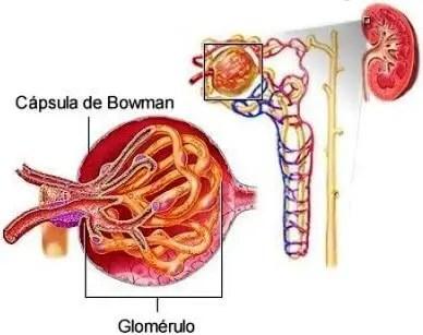 Glomerulo en Cálculo Filtrado glomerular