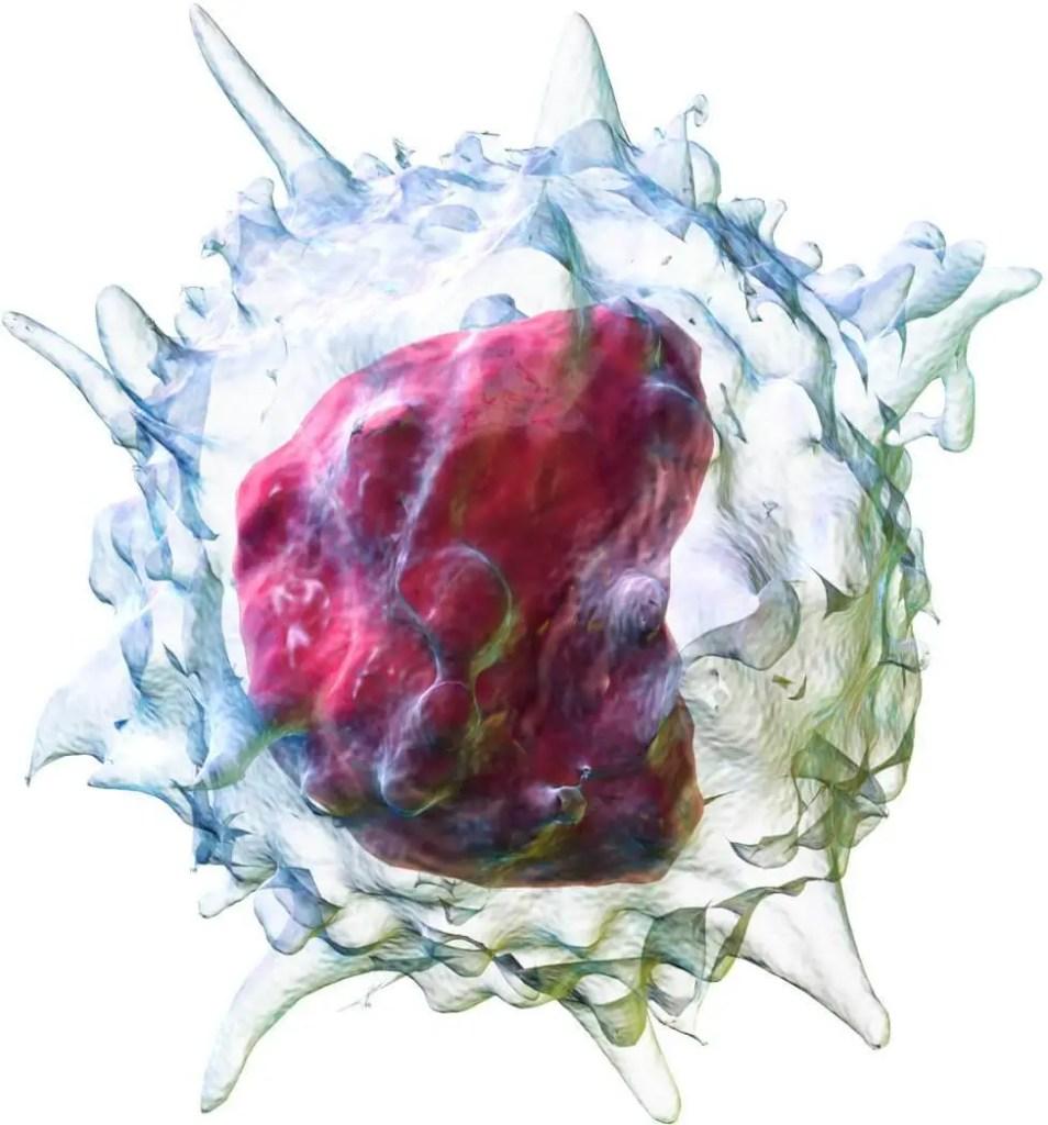 Monocitos Altos: Monositosis qué significa, causas.