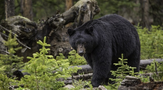How Maine leads as a model for black bear management