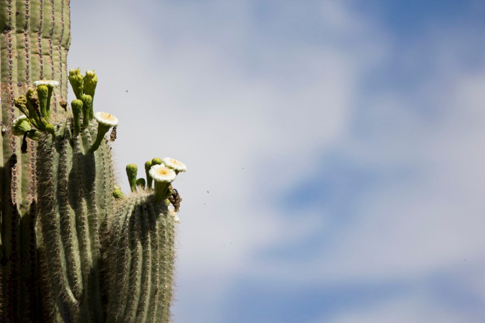 Saguaro Cactus in bloom at the Organ Pipe Cactus National Monument