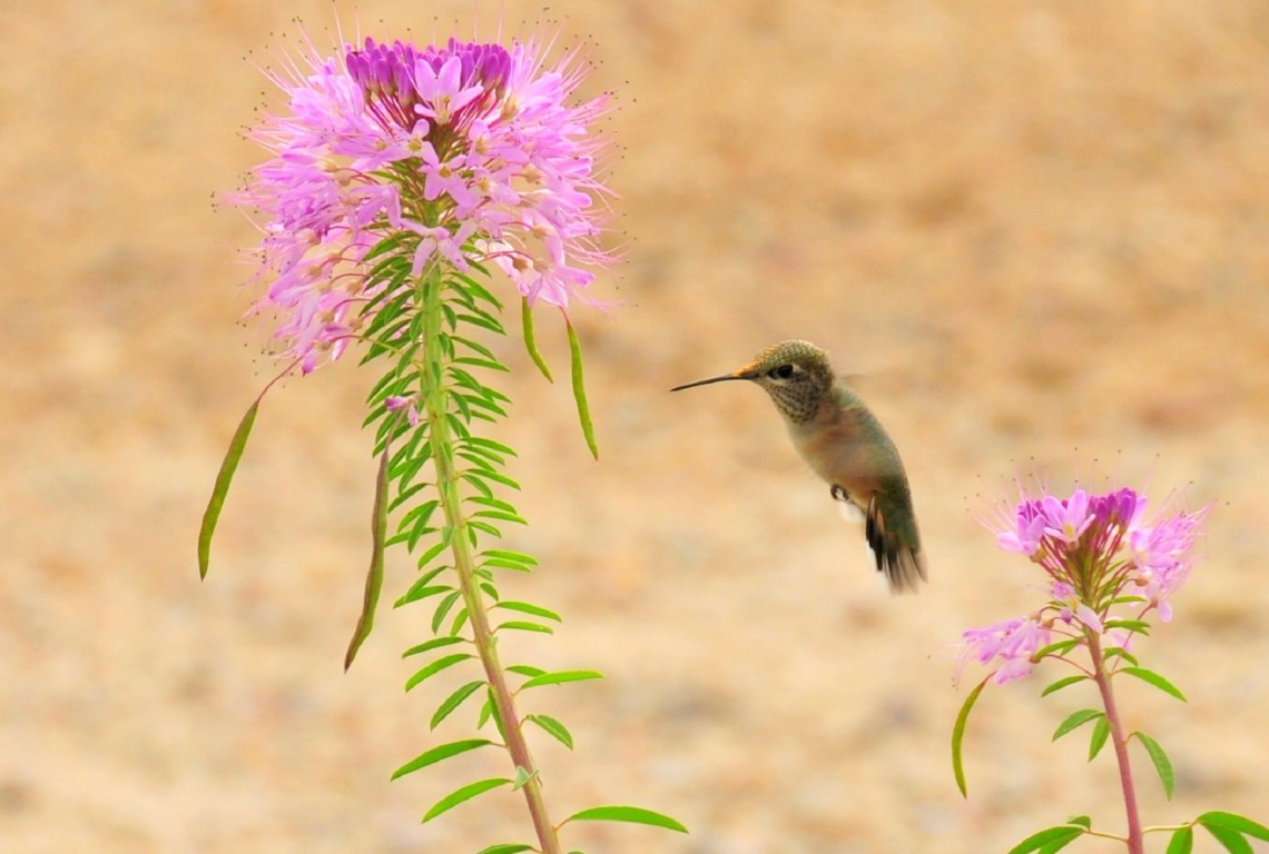 5 Butterfly And Hummingbird Friendly Plants In Southern Arizona