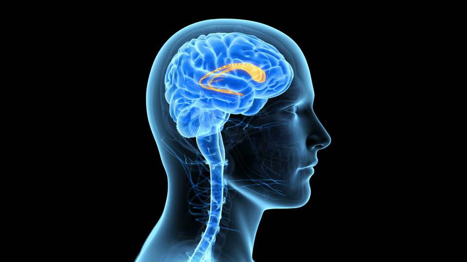 human brain diagram limbic system dodge ram stereo wiring núcleo caudado: conoce todo sobre él y su importancia