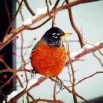 Sticker, passarinho no inverno do Canadá