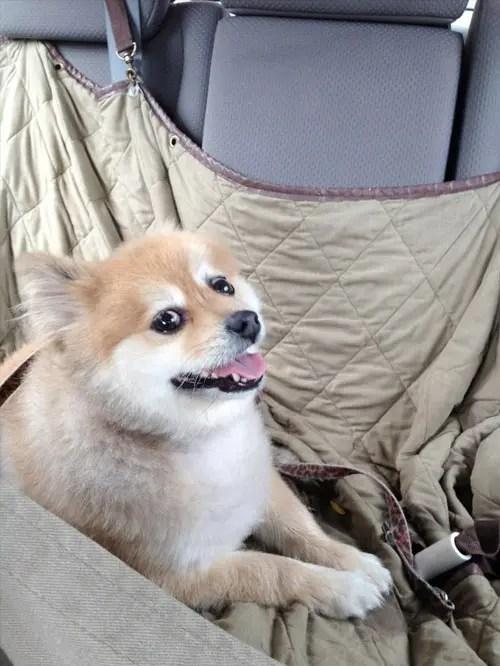 Cachorros a caminho de casa depois de adotados  Tudo Sobre Cachorros
