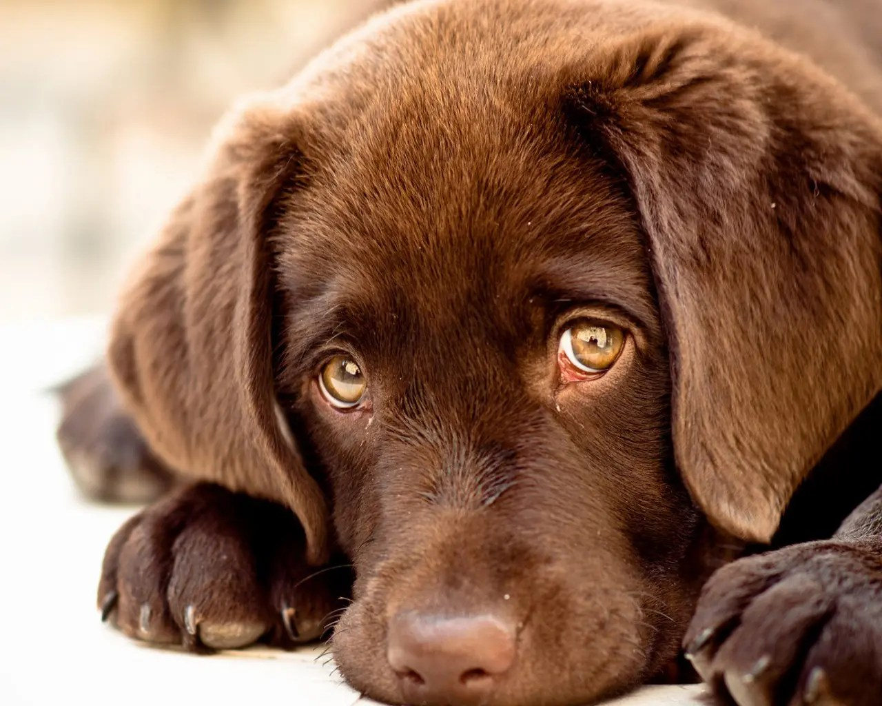 Cute Labrador Puppies Wallpapers Innocent Puppy Eyes 1280x1024