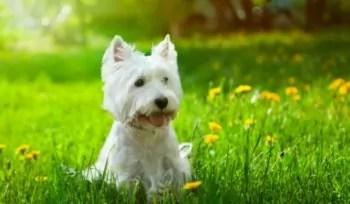 Westie Terrier Ganhou Fama Depois de Comercial na TV