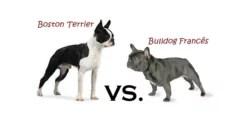 Você Sabe a Diferença Entre Boston Terrier e Bulldog Francês?