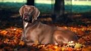 Weimaraner: O Cão de Linda Pelagem e Olhos Encantadores
