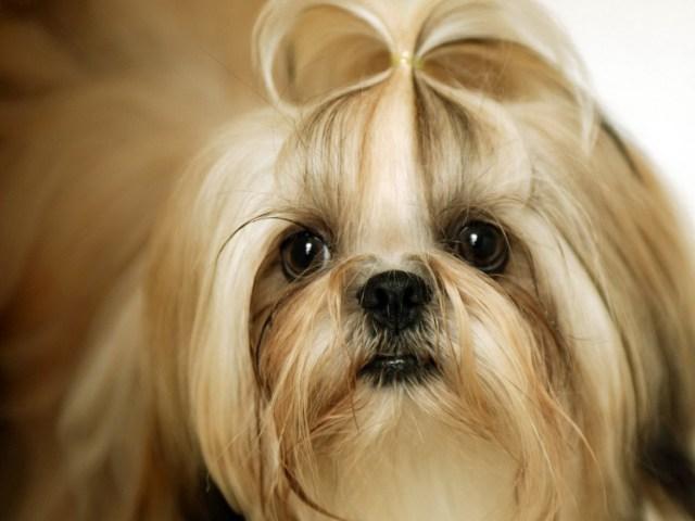 Shih Tzu Dog images