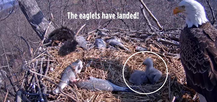 eagles live bald eagle nest cam animals