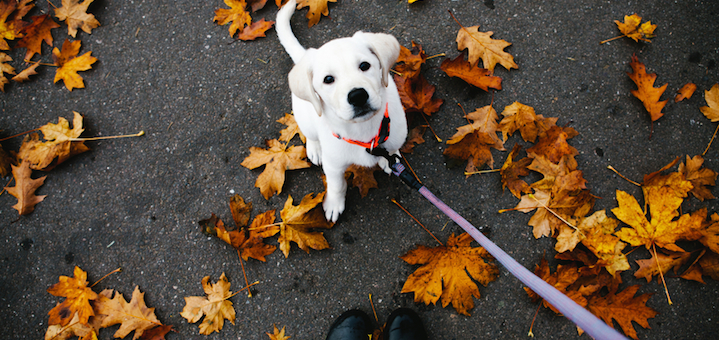 Small white lab puppy standing in fall leaves looking up at camera