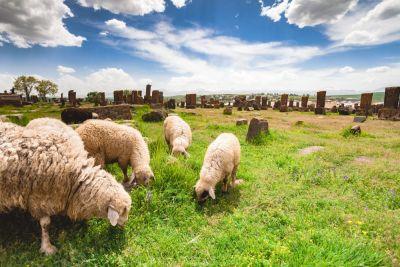 Sheep graze in Noratus Cemetery with Khachkars, Armenia