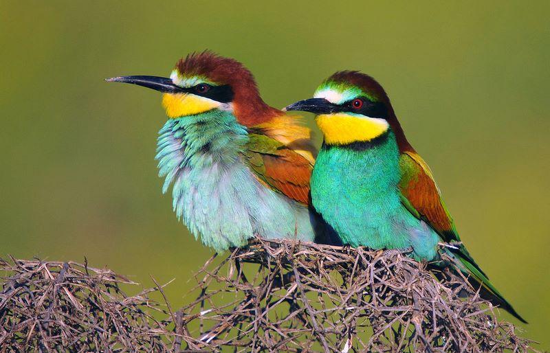 Abejaruco europeo - Variedades de aves