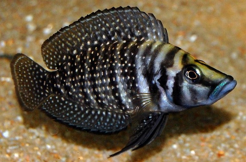 Altolamprologus - Variedades de peces
