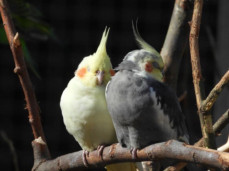 Aves mascotas más recomendables