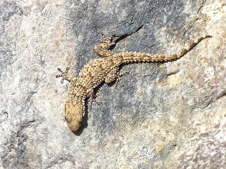Salamanquesa común - Variedades de reptiles