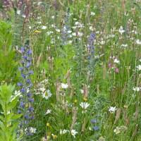 GO WILD!  Een Wilde Bloemenweide in uw tuin.