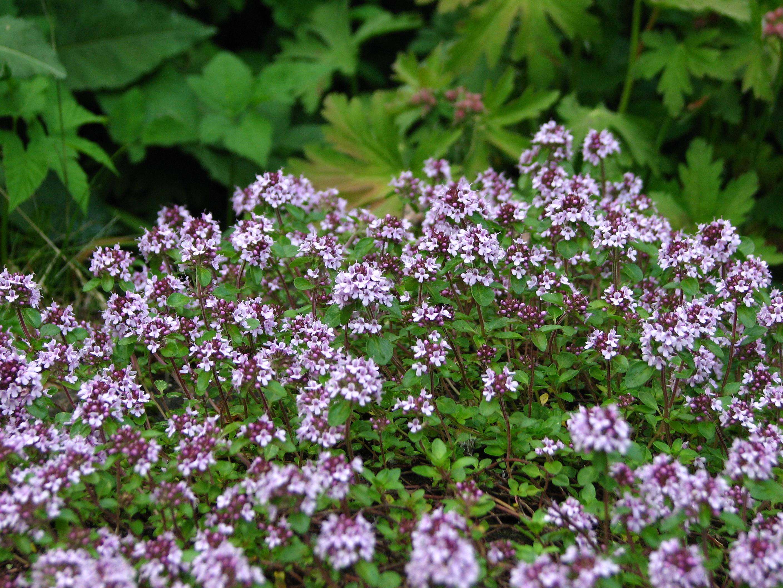 Top 10 Vaste planten voor bijen en vlinders