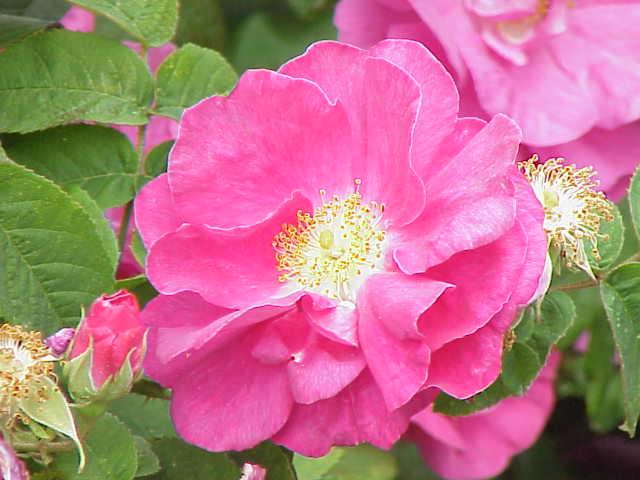 Botanische rozen zijn oersterk en veelzijdig