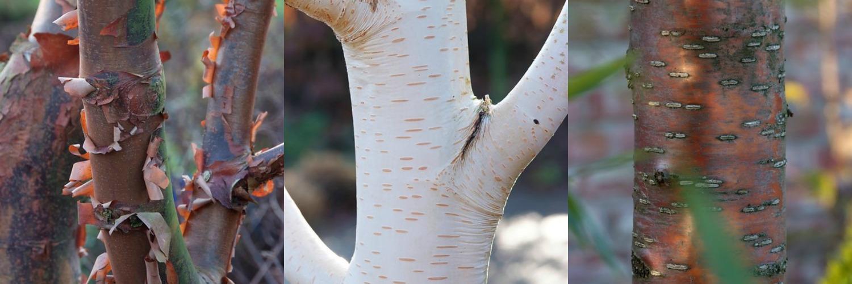 Stammenstrijd: Fraaie stammen geven karakter aan de winterse tuin