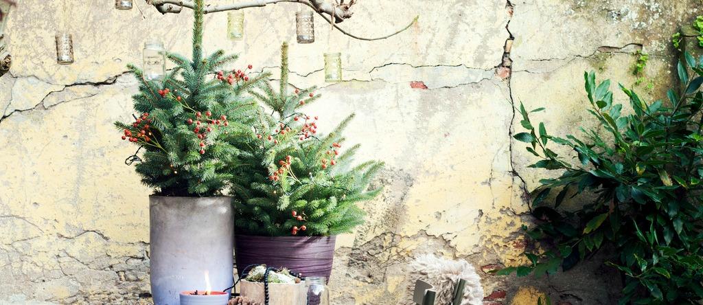 De spar een graag geziene, wintergroene conifeer