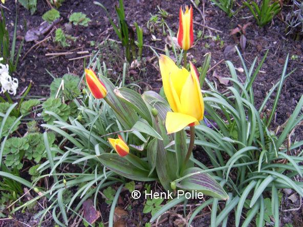 Laagblijvende Tulpen  Tuin kalender het hele jaar door