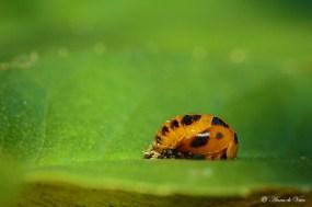 5. Na drie weken verpoppen de larven zich