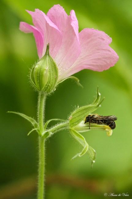 Slapende Grote klokjesbij bloem is vannacht uitgevallen (Geranium endressii)
