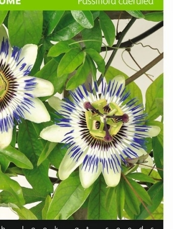 Passion Flower seeds - Passiflora • Tuinzaden.eu