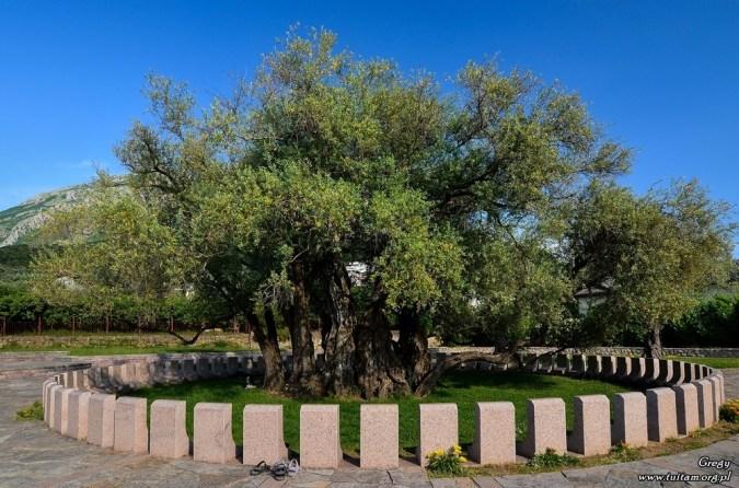 Czarnogóra - najstarsze drzewo oliwne