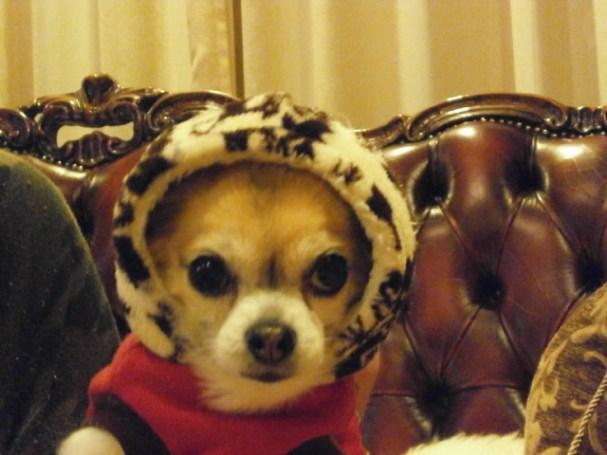 防寒着を着る犬