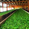 Ceylon-Tea-Trails-Hatton-Sri-Lanka-norwood-tea-plantation-factory-inside