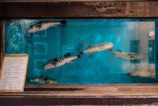 Unzornige Kugelfische mit Selfie