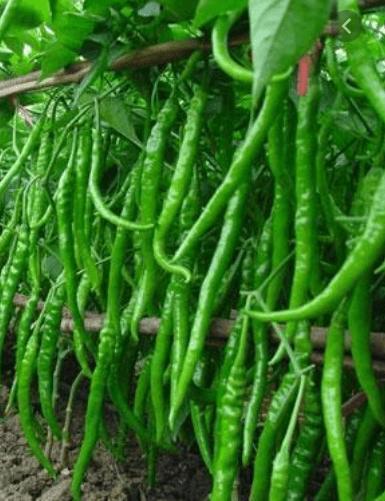 Green Chilli Mirchi Morris-Tukwila Online Store