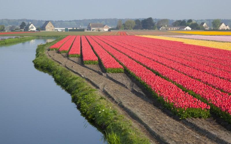 Dutch Tulip fields in springtime
