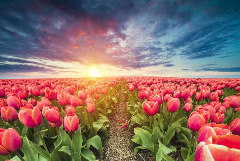 The best tulip photos