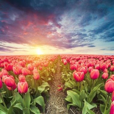 The best tulip photos