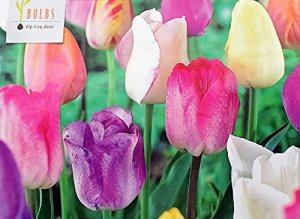 100 tulip bulbs mix