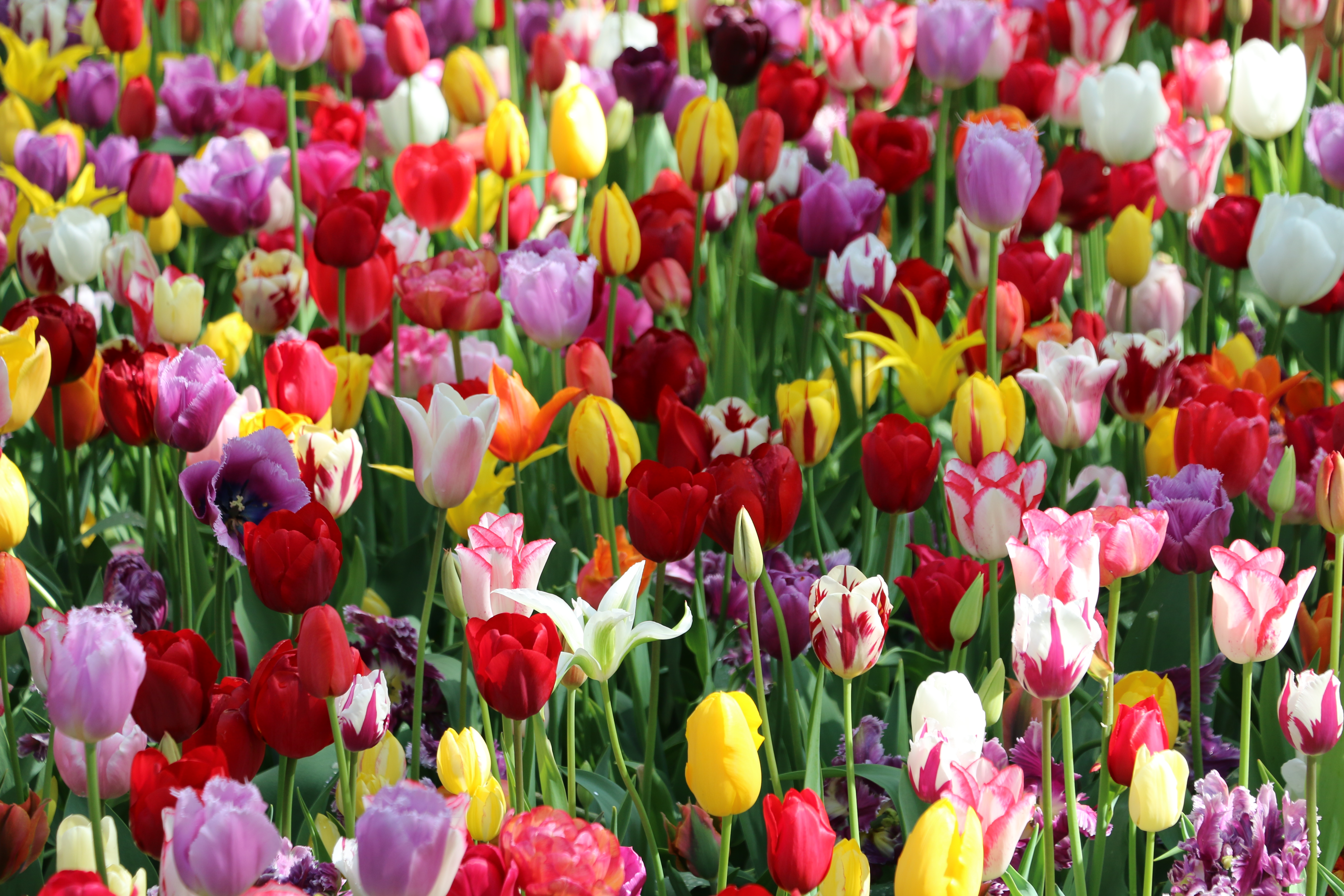Want To Create Your Own Tulip Garden Buy And Plant Your Flower