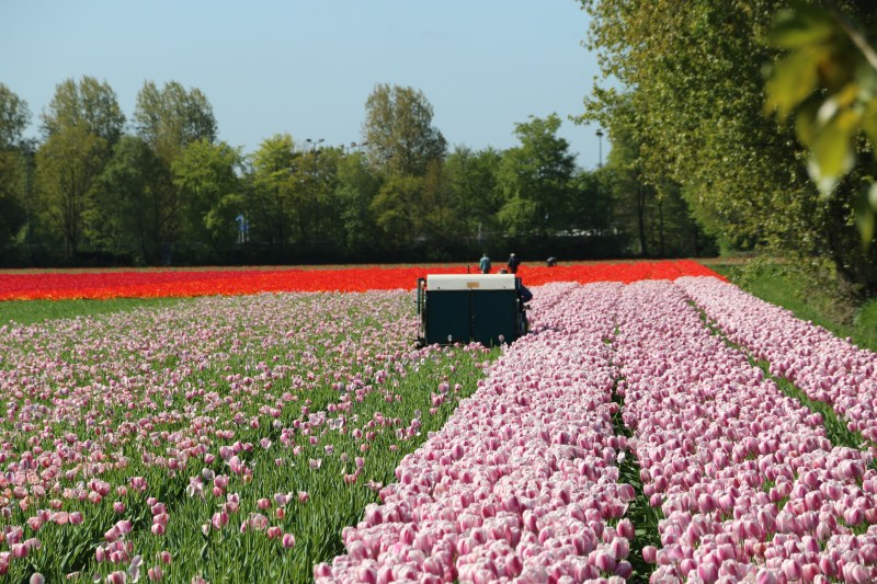 Tulip Fields in spring 2019