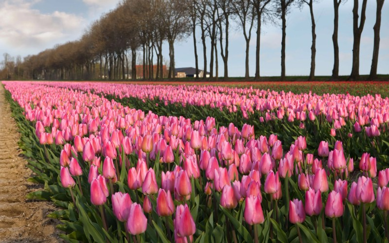 Tulip field Holland Amsterdam
