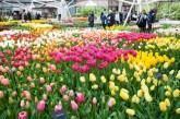 indoor tulip shows Keukenhof