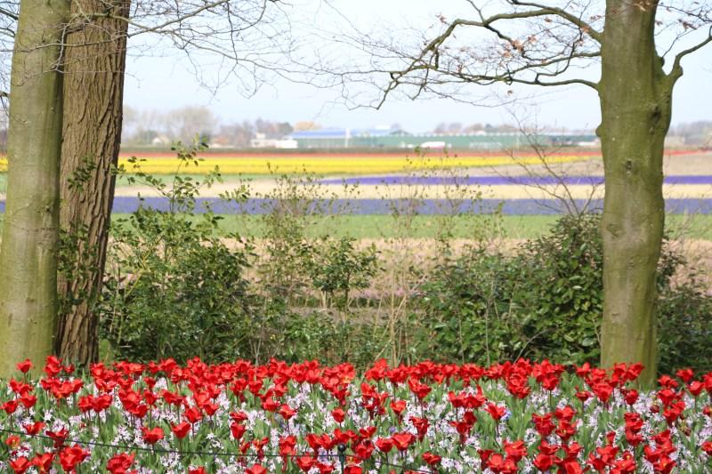 Keukenhof flower fields 27 March 2019