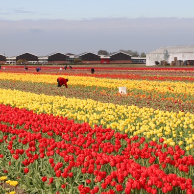 flower fields Holland
