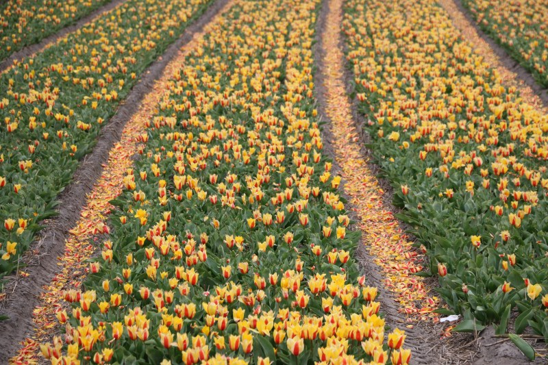 removing the tulips from the tulip fields