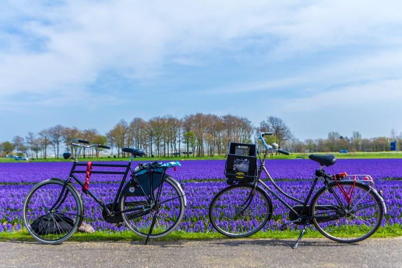 Bike tour tulip fields Amsterdam